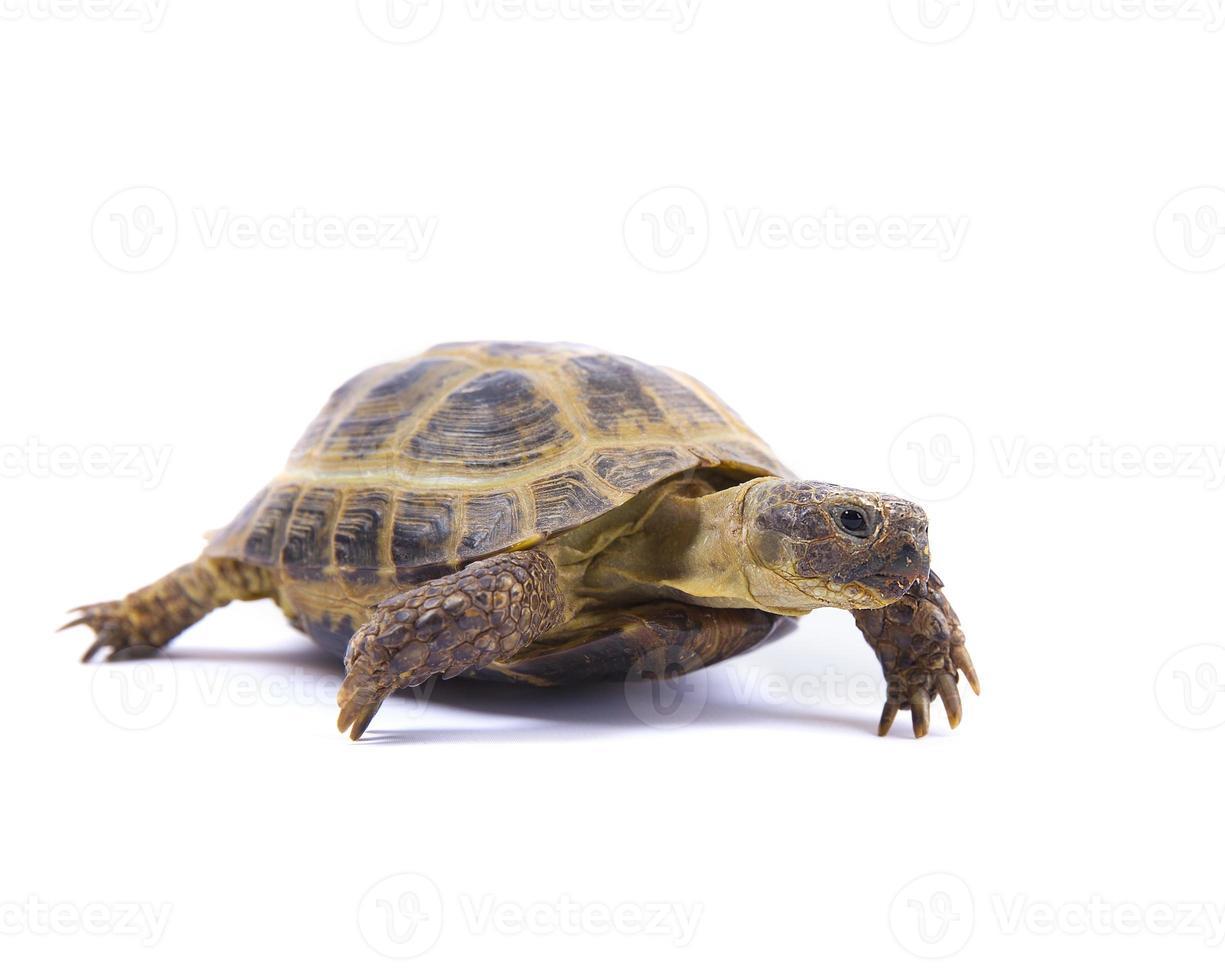 tortuga rusa en blanco foto