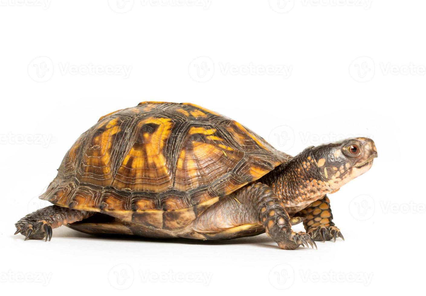 tortuga de caja oriental foto