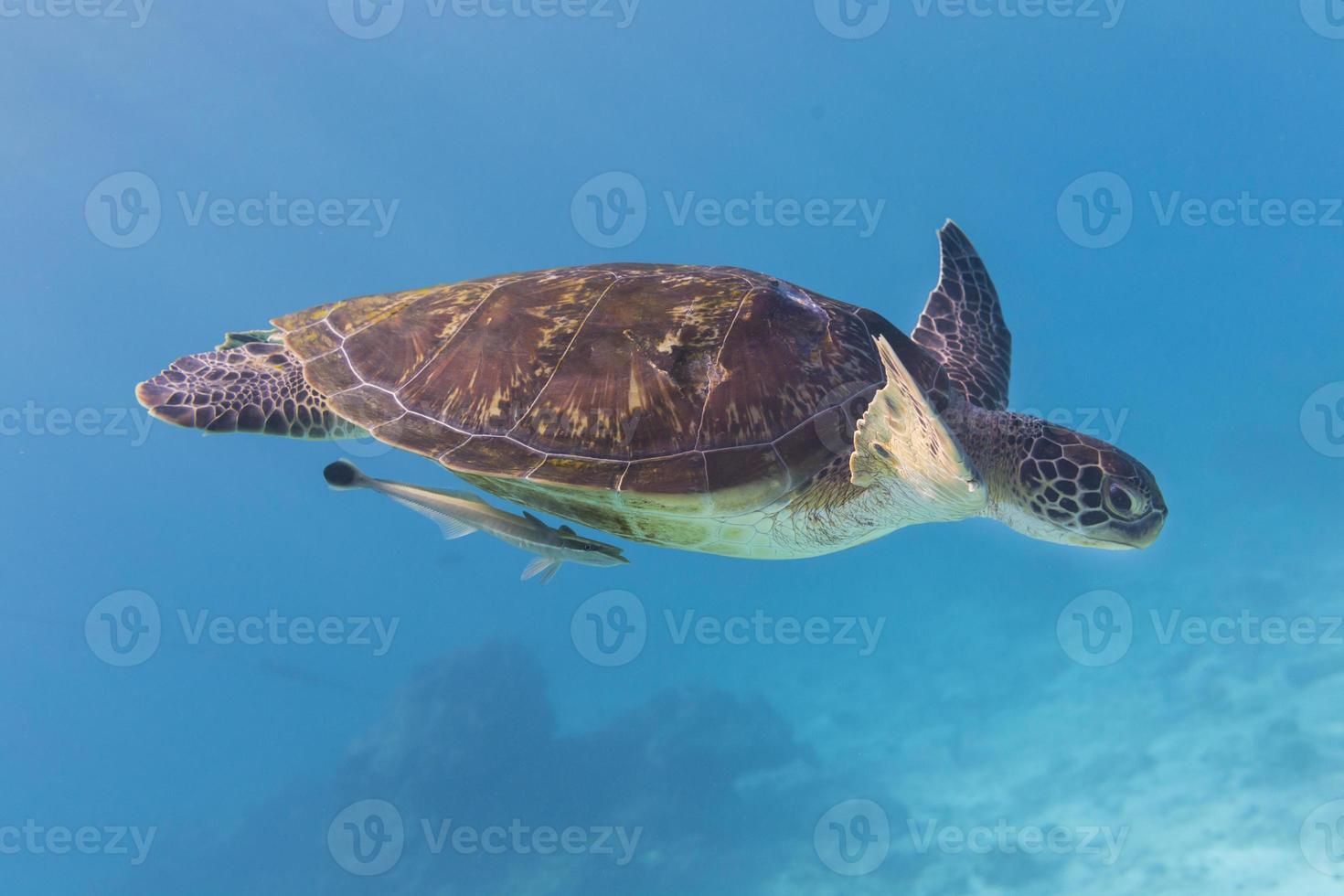 Green Turtle (Chelonia mydas) at Similan island, Thailand photo