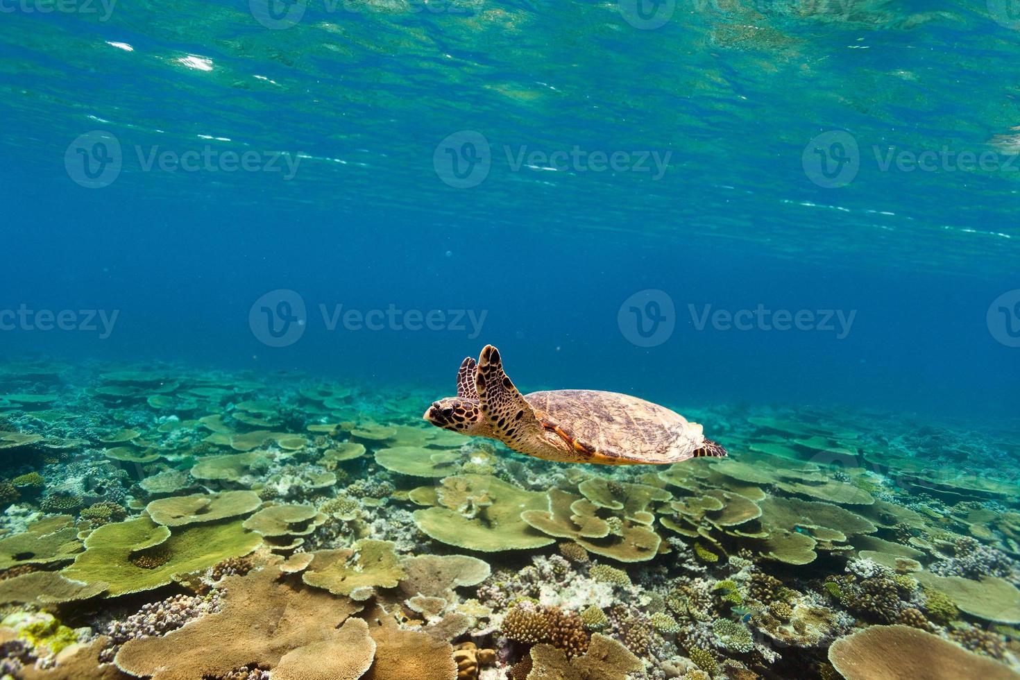 tortuga nadando bajo el agua foto