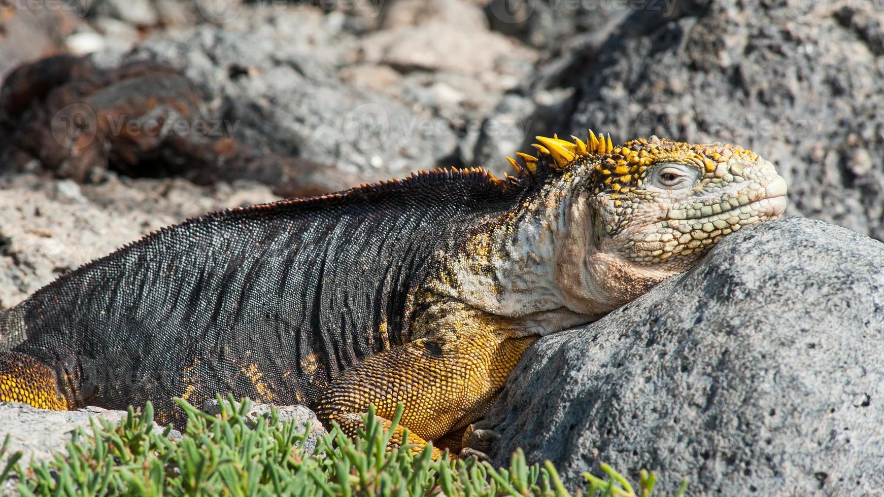 Galapagos Iguana photo