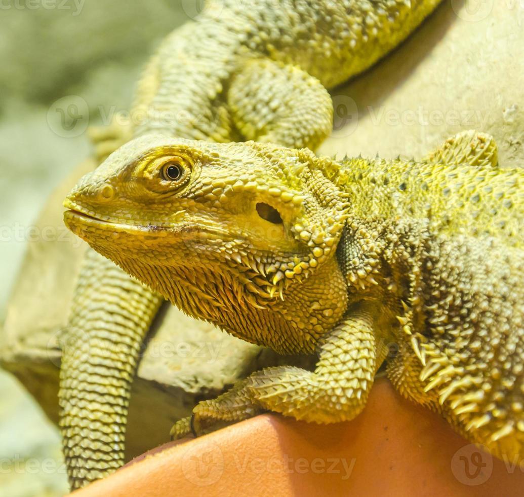 iguana dragon foto