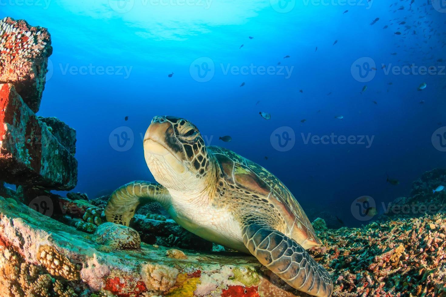 tortuga verde en un arrecife artificial foto