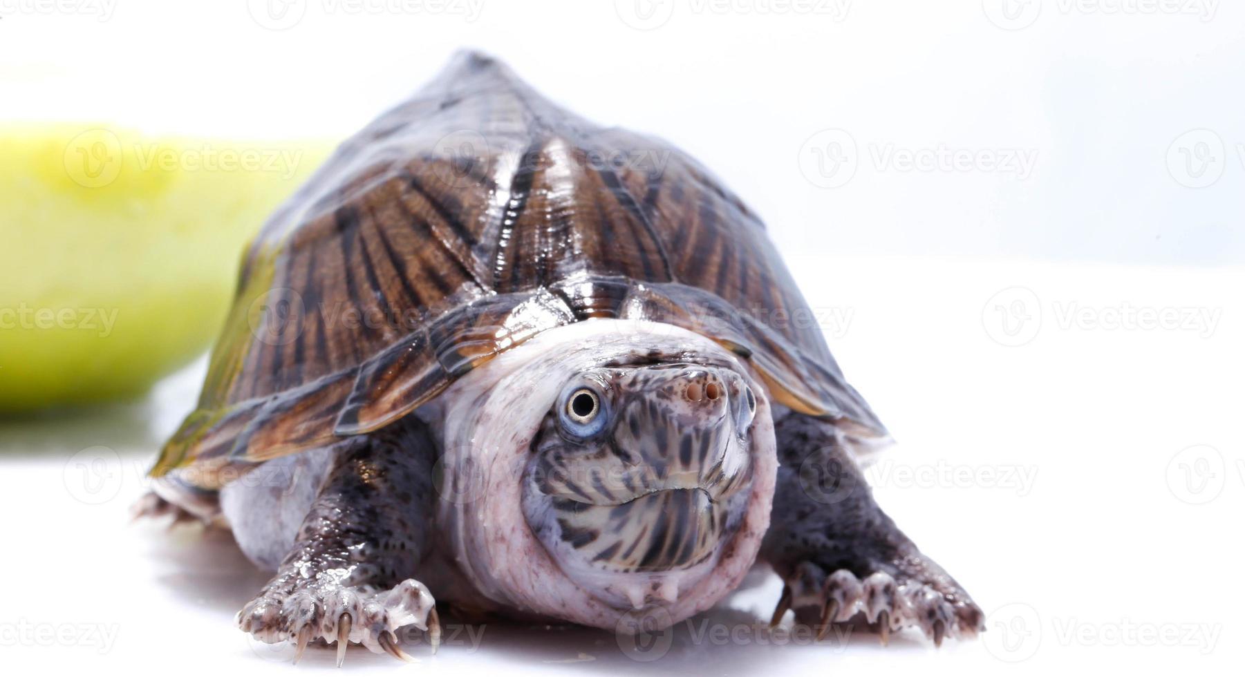 tortuga mascota afortunada foto