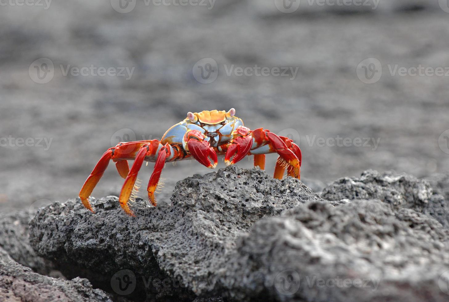 cangrejo sally lightfoot, islas galápagos, ecuador foto