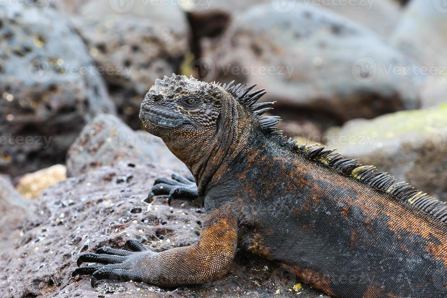 Marine Iguana In Galapagos Islands photo