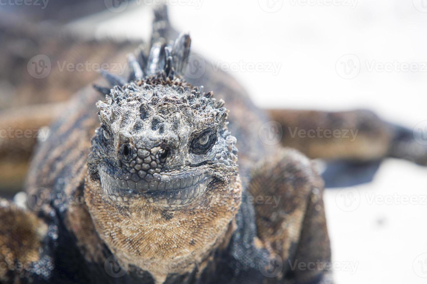 iguana marina en las islas galápagos foto