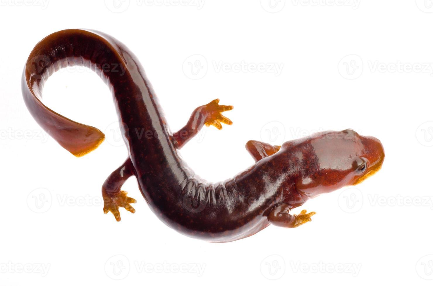 tritón salamandra tsitou chino foto