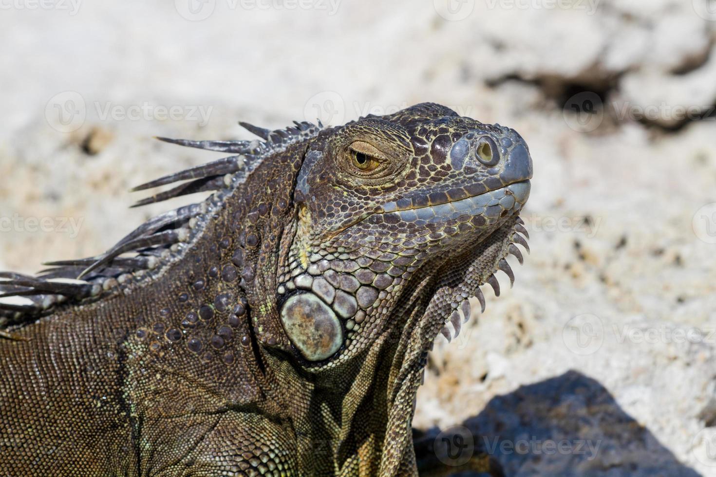 primer plano de una iguana mexicana foto