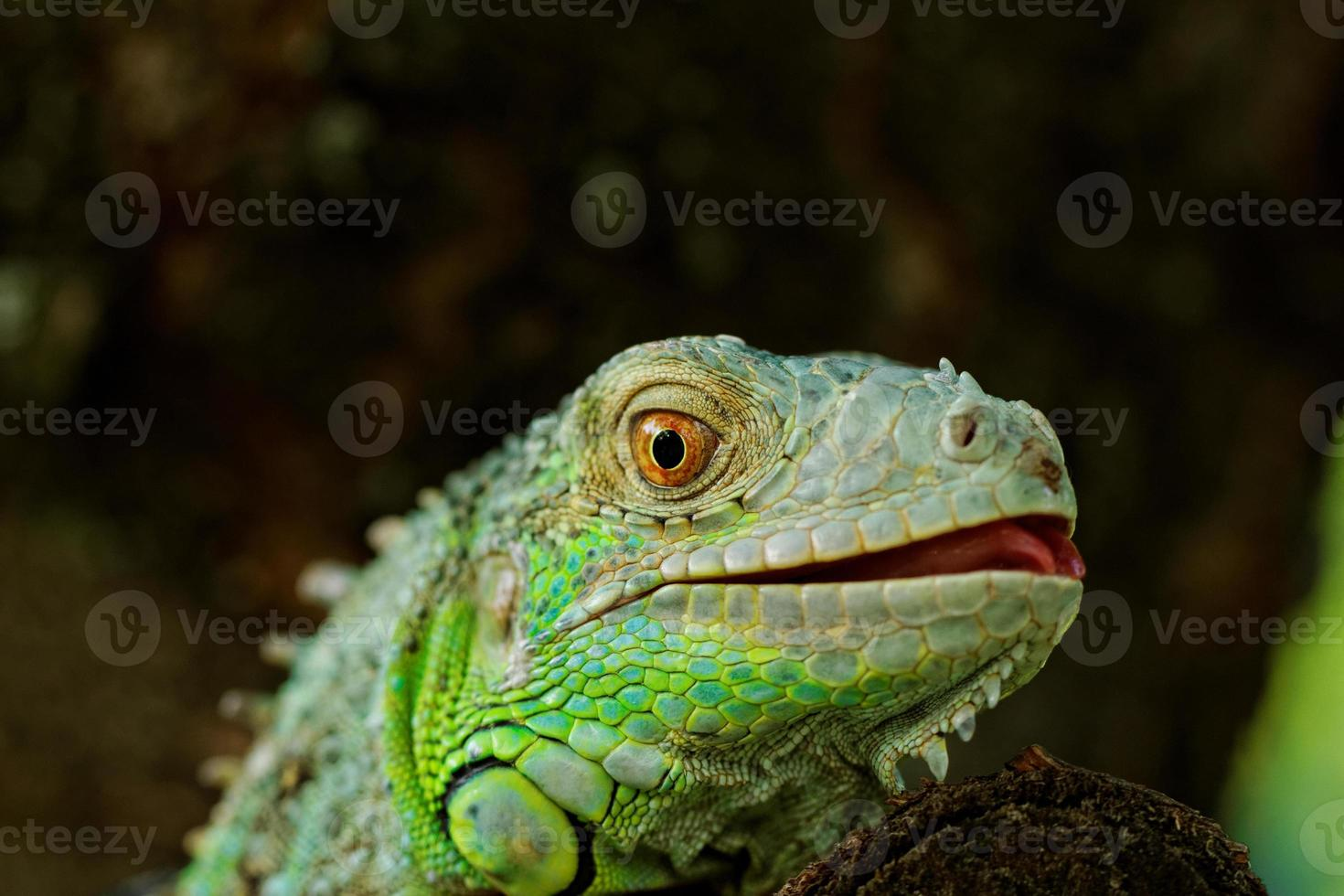 retrato sobre una iguana verde foto