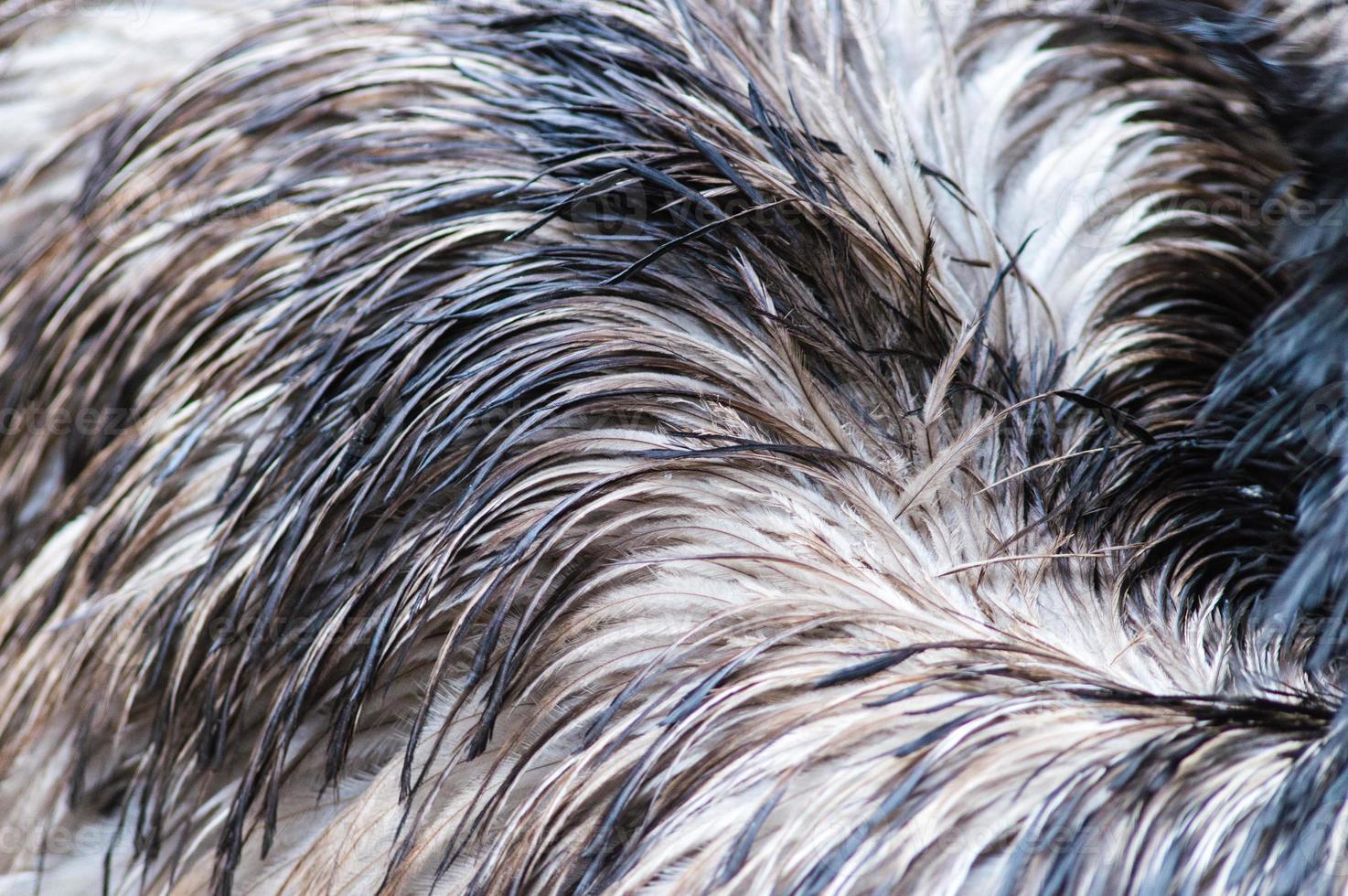 Fondo de plumas de avestruz. foto