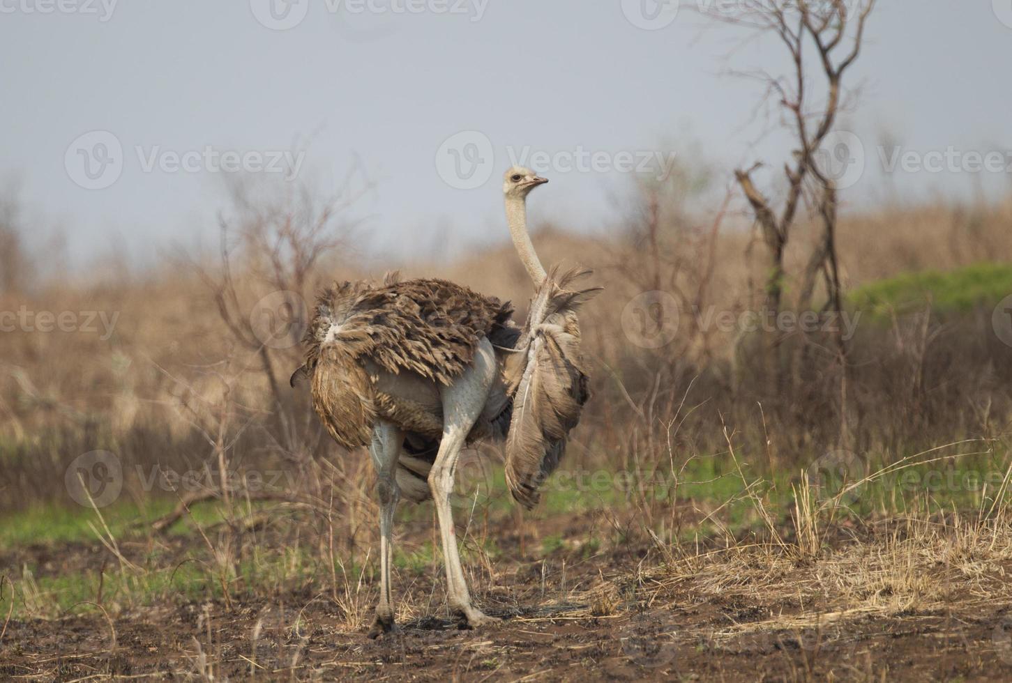 avestruz común en el parque nacional kruger foto