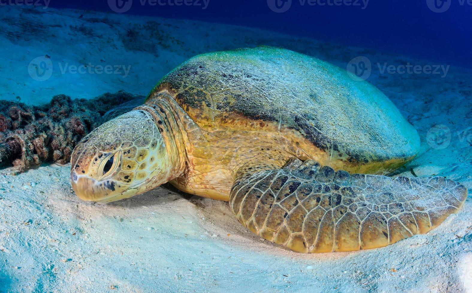 tortuga verde descansa sobre un fondo marino arenoso foto