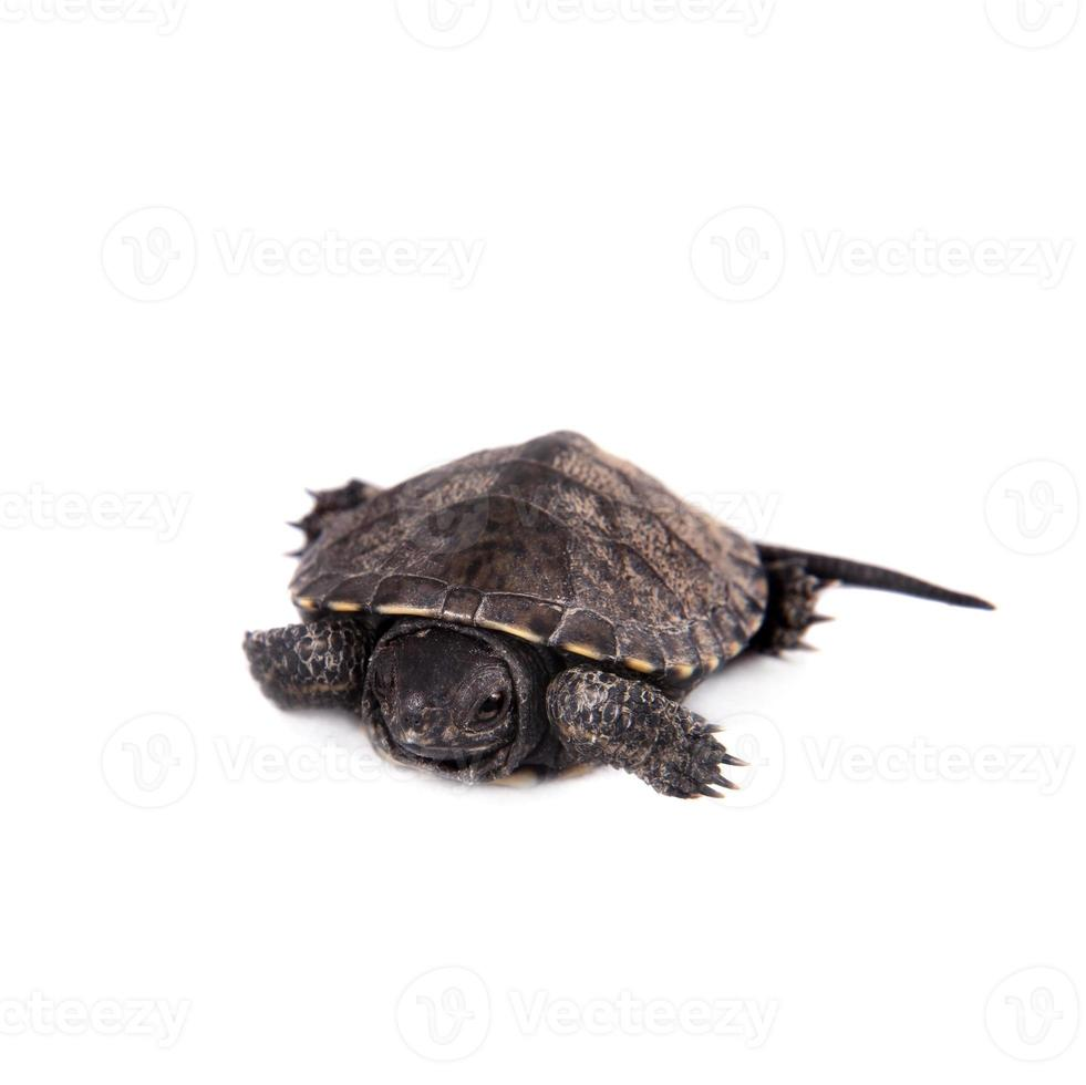 tortuga acuática europea del estanque en blanco foto