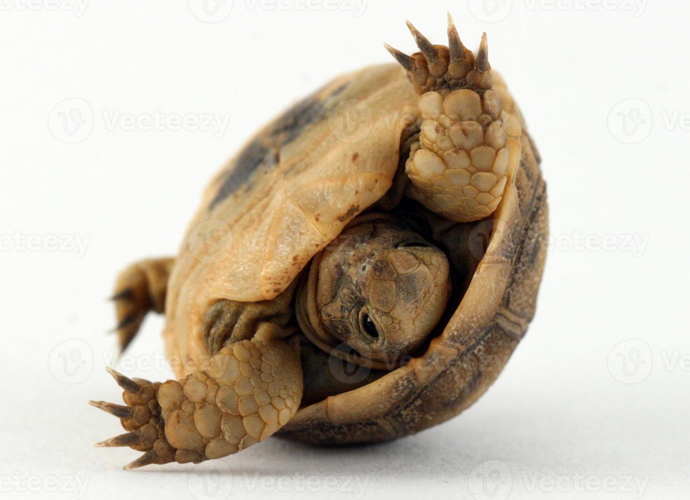 tortuga bebé volcando en concha foto