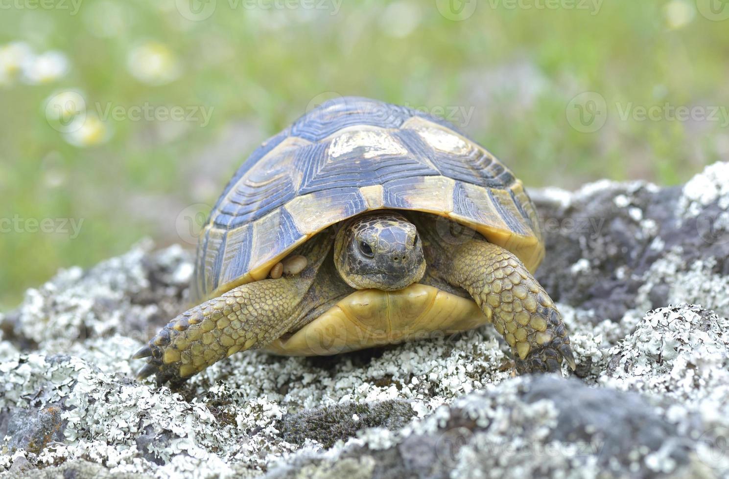 Spur thighed turtle (Testudo graeca) photo