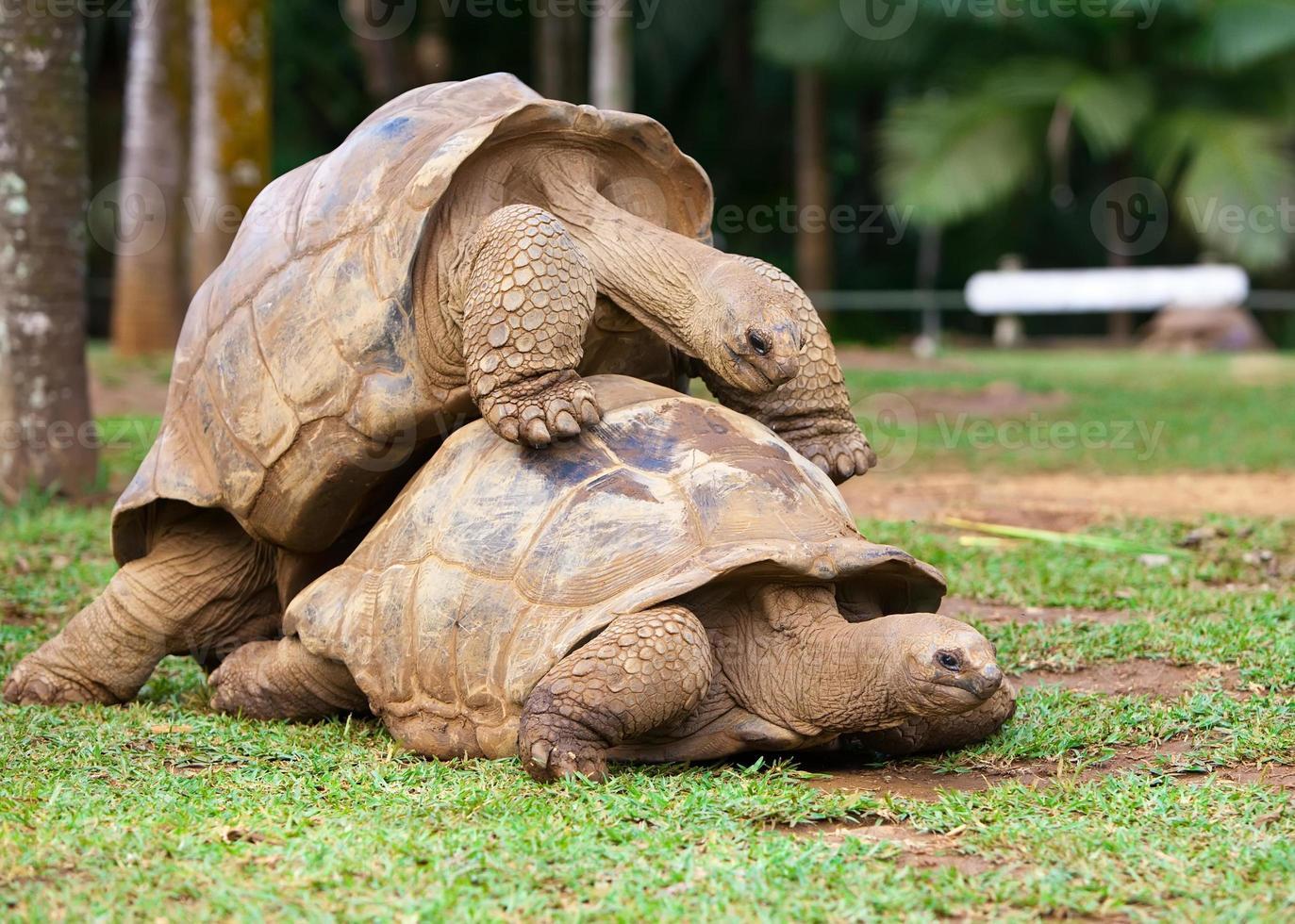 dos tortugas simpatizando entre sí foto