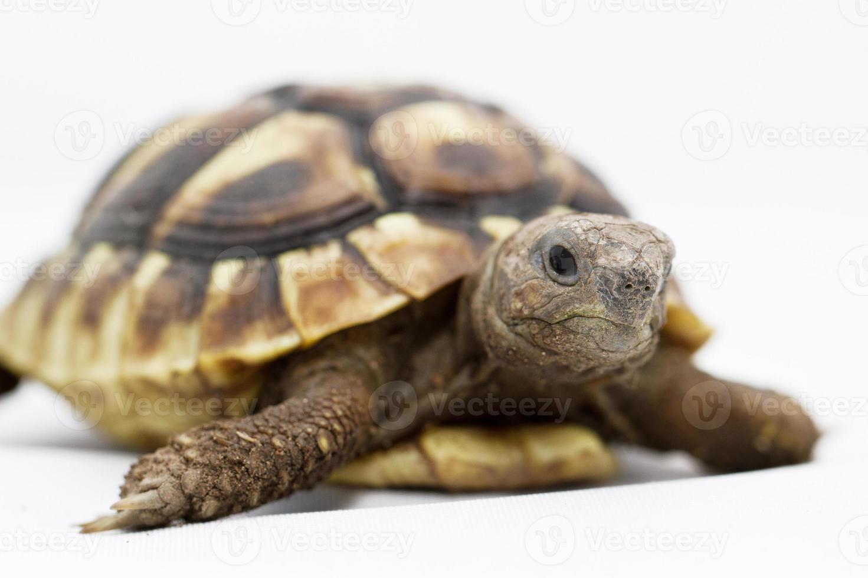 tortuga joven sobre un fondo blanco foto