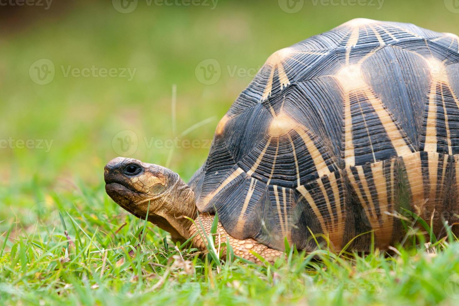 la tortuga radiada foto