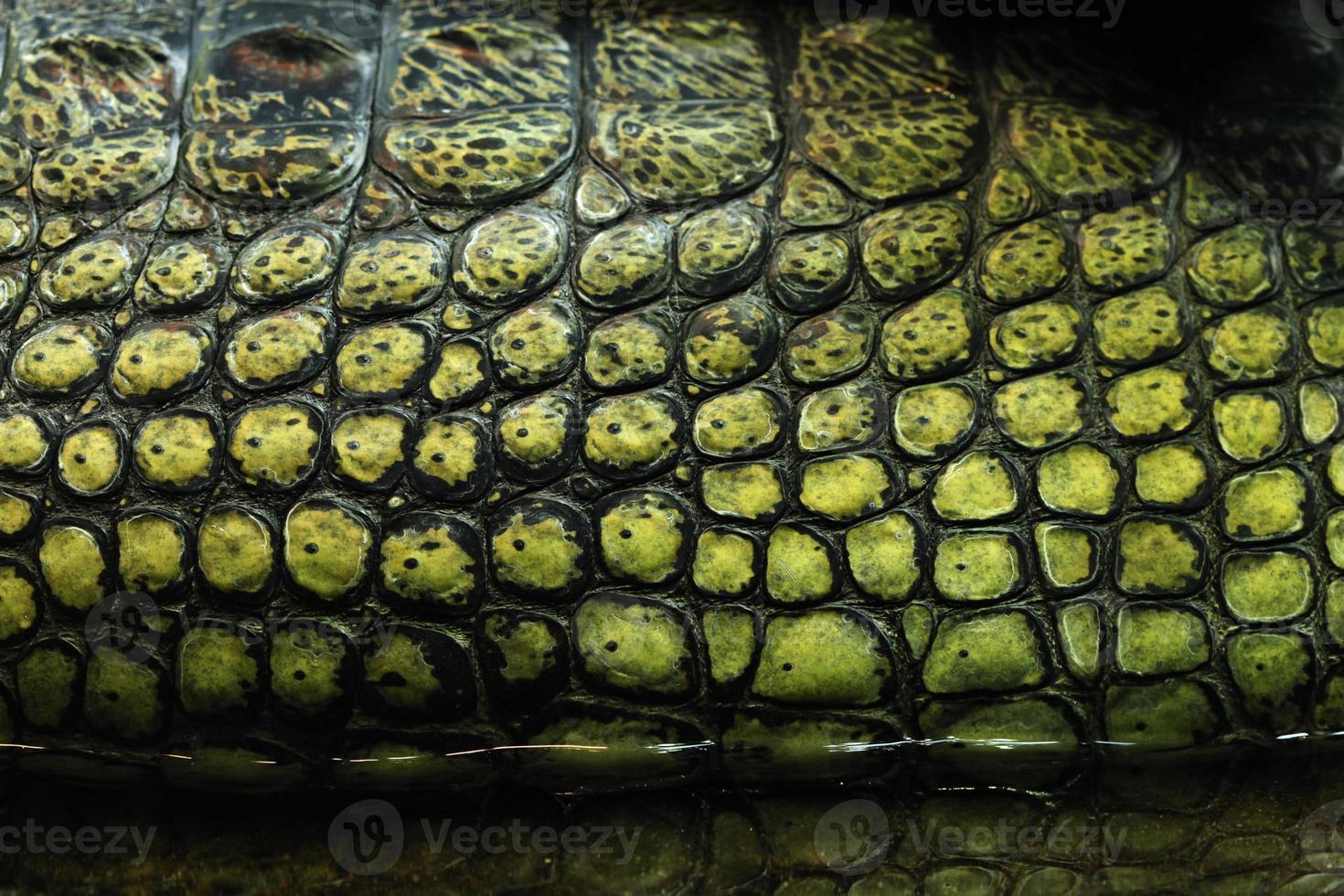 textura de la piel. gavial (gavialis gangeticus) foto