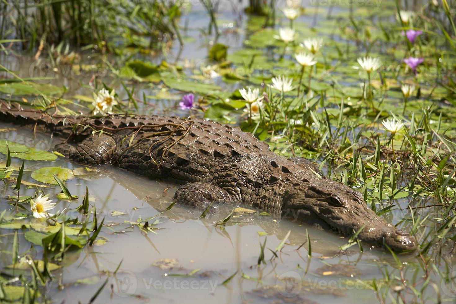 Coccodrillo nelle acque di un lago photo