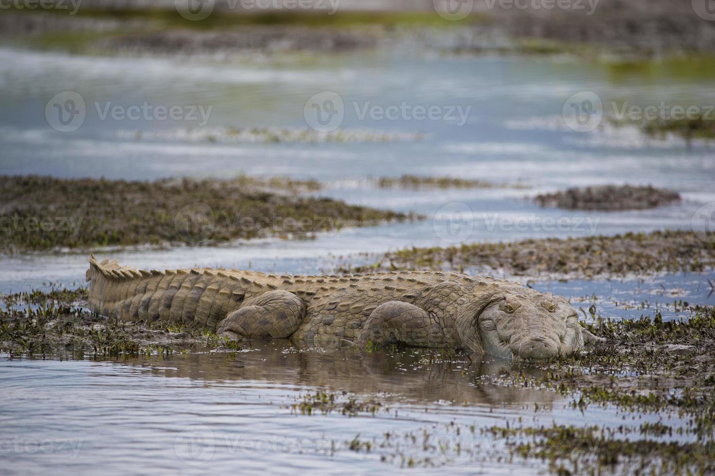 cocodrilo del Nilo foto