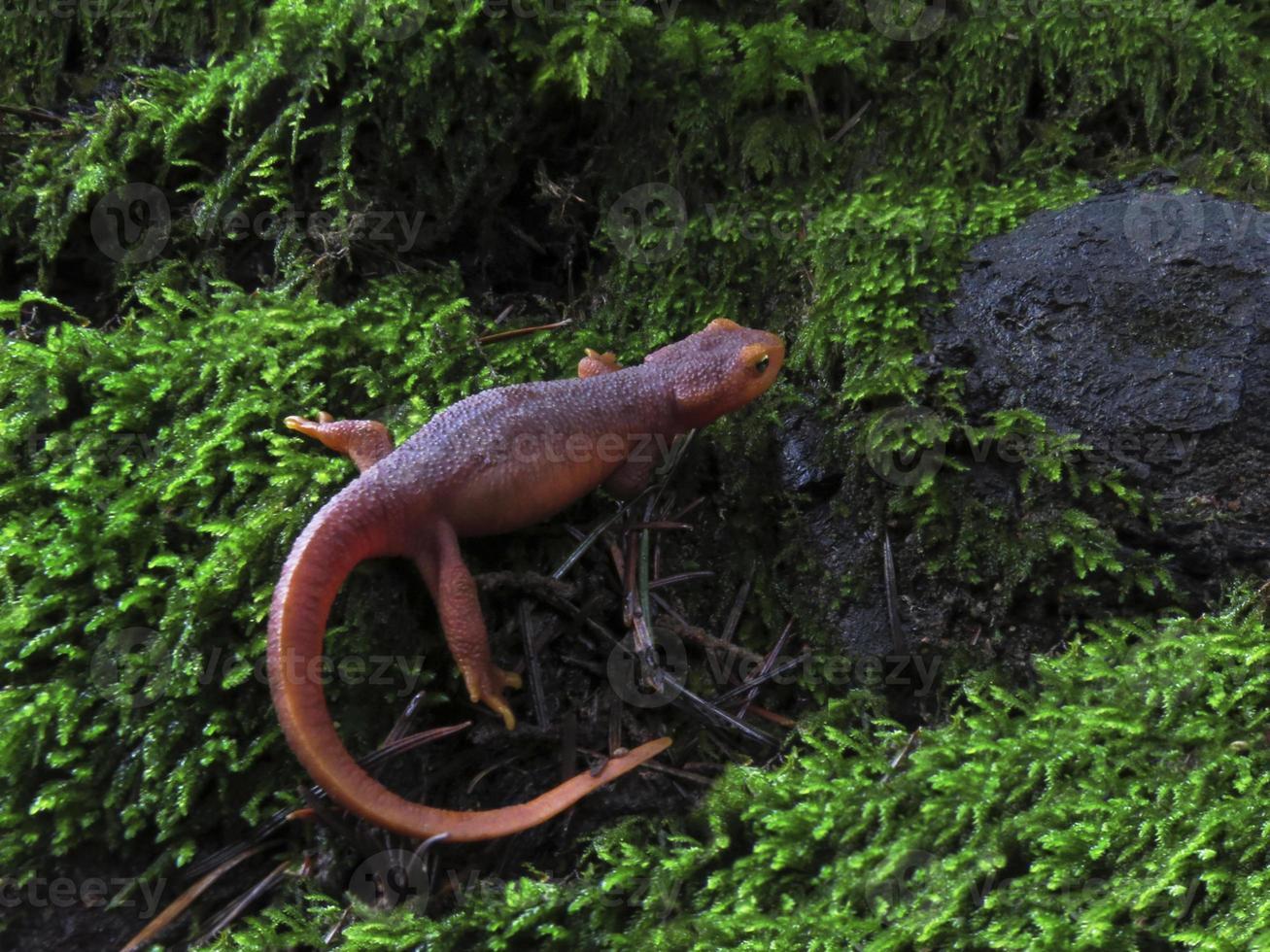Sierra Newt photo