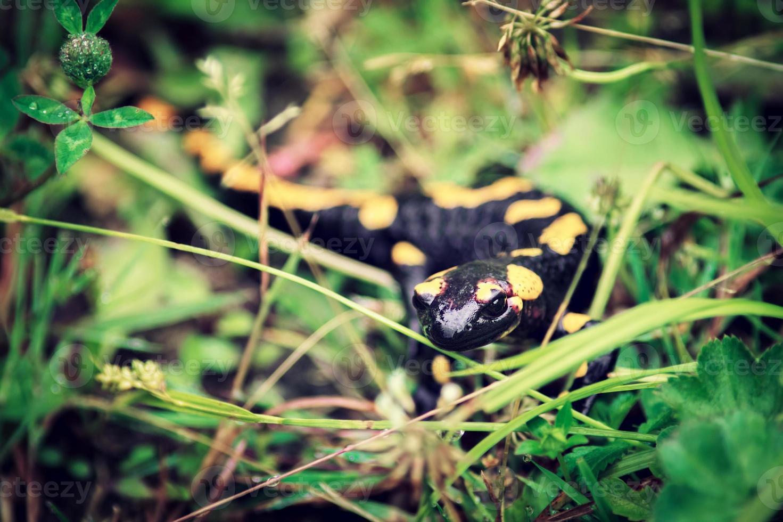 salamandra de fuego, animal venenoso que vive en europa foto