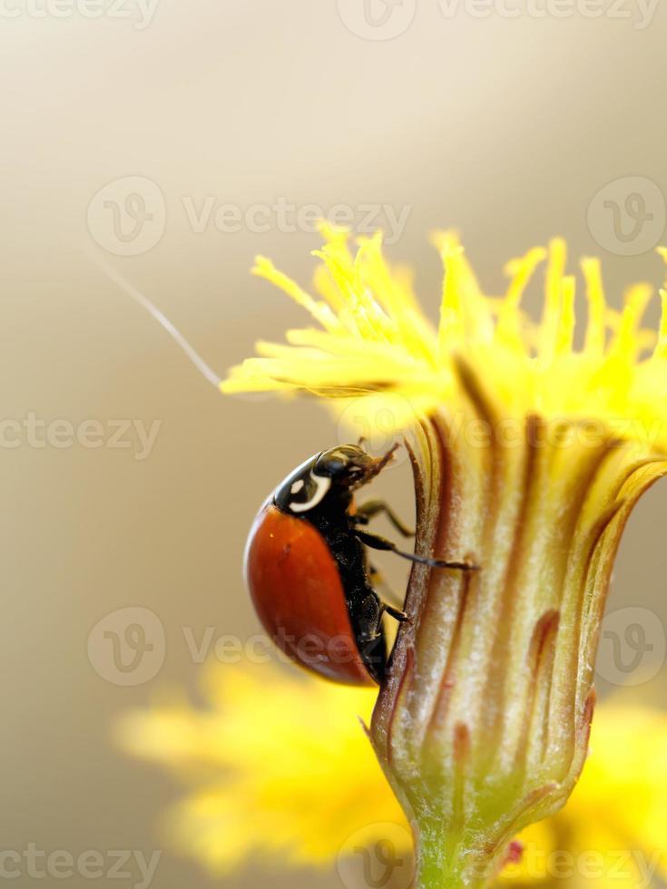 mariquita roja se encuentra en una flor amarilla foto