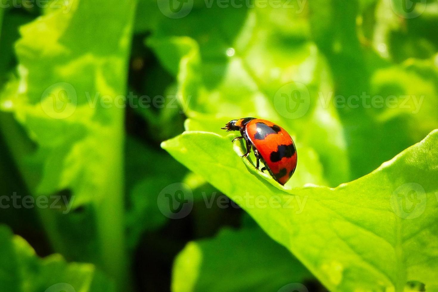 Lady Bug en rama de repollo foto