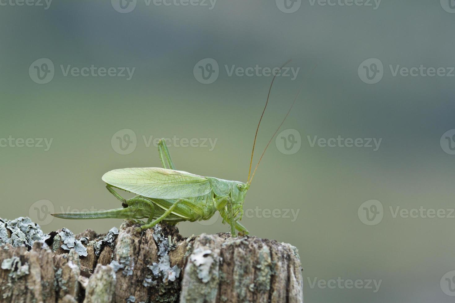 Gran especie de arbusto verde de cricket tettigonia viridissima, francia foto
