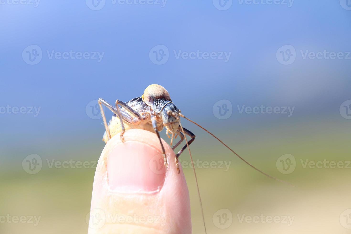 cricket arbusto, típico de la sierra de madrid foto
