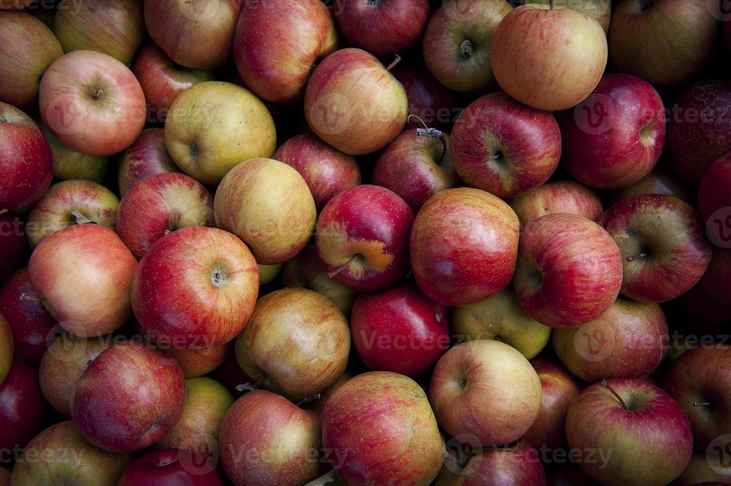 cosecha de manzanas foto