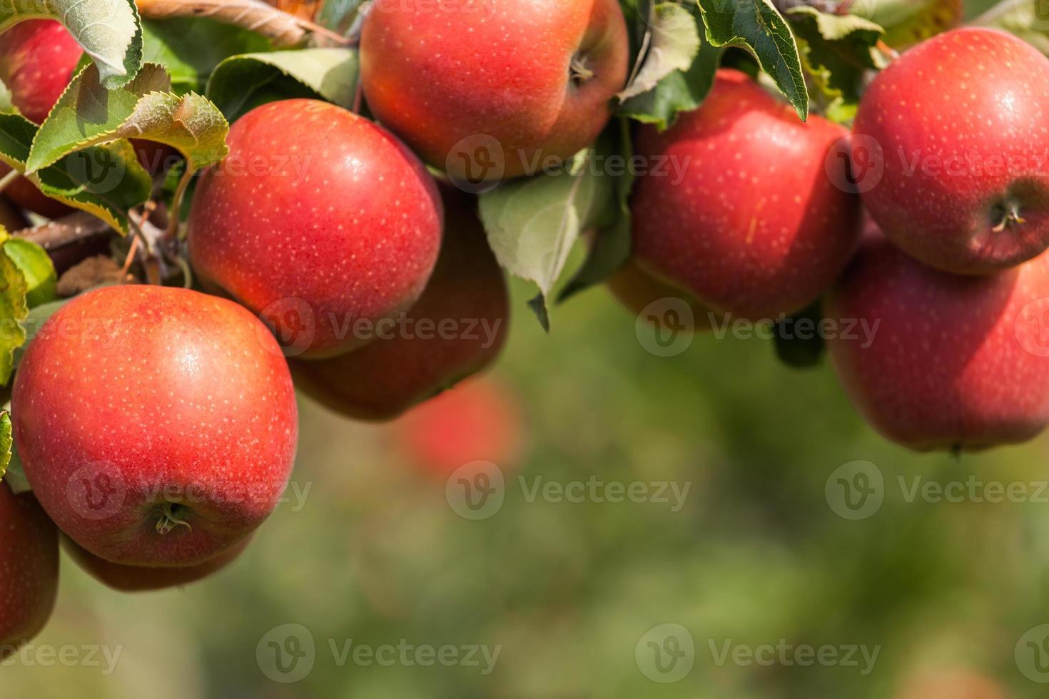 Conjunto de manzanas en el lago de Constanza, Alemania foto