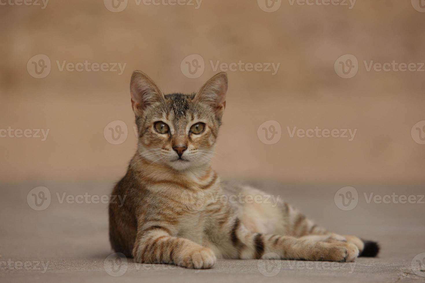 gato atigrado acostado foto