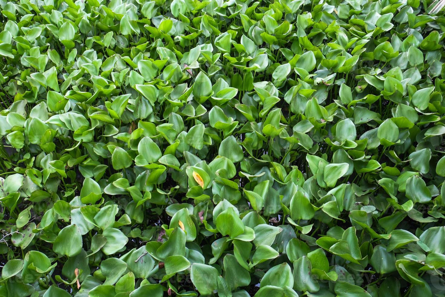jacinto de agua foto