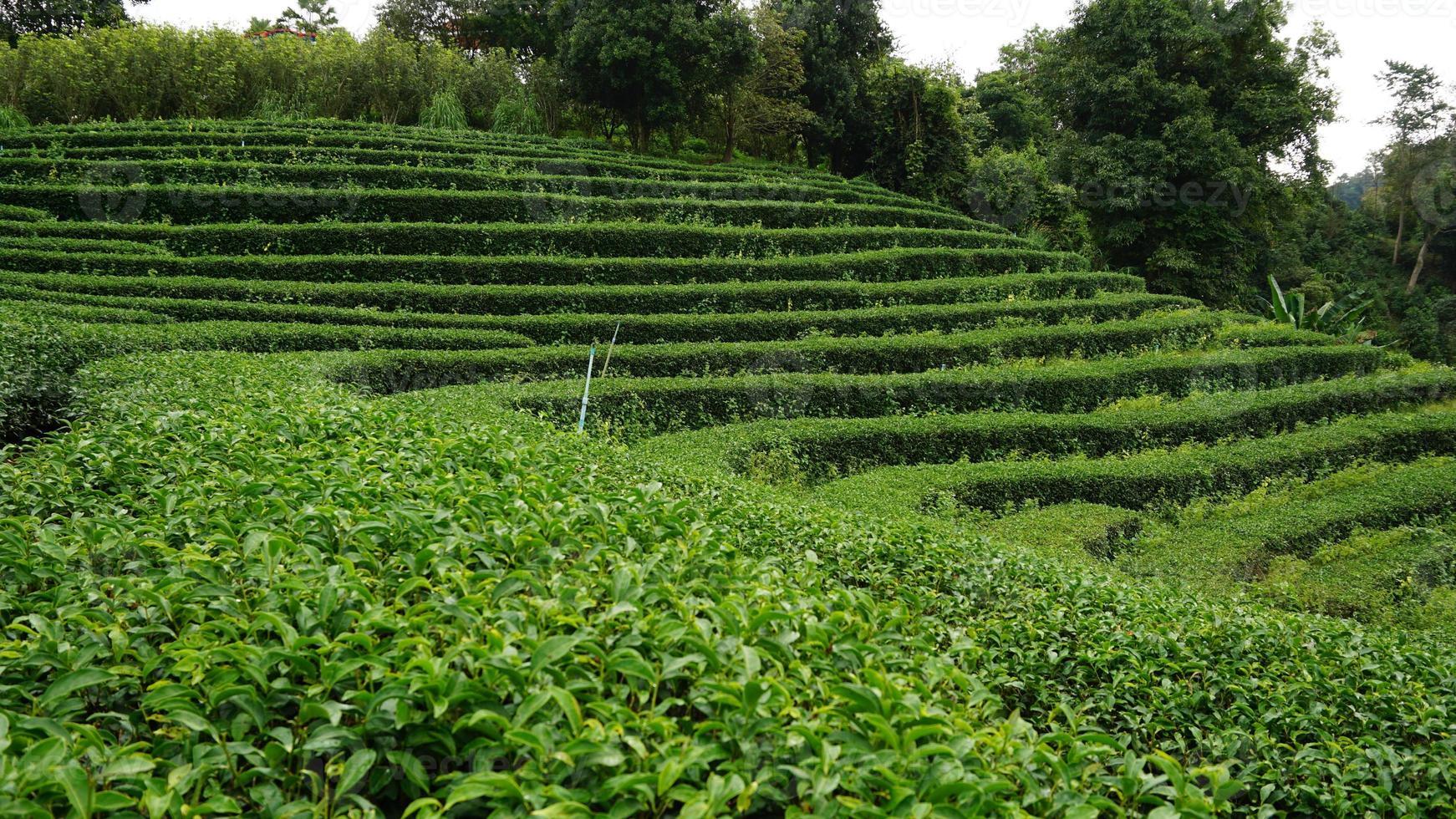 Jardim de chá foto