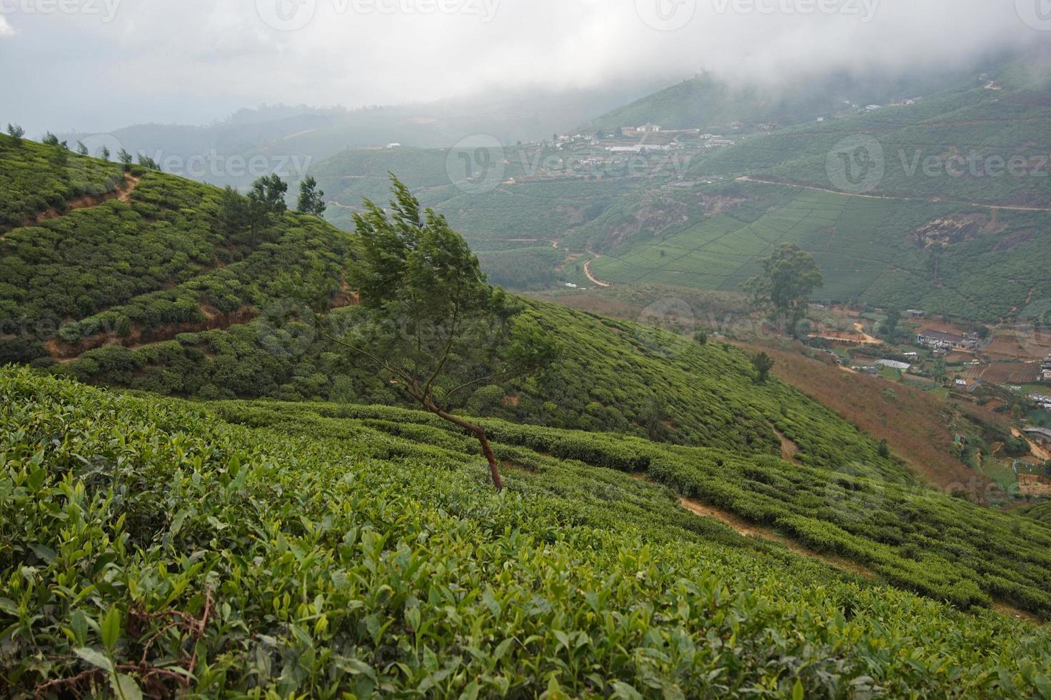 Sri Lanka, Nuwara Eliya, té de Bush, Ceilán, foto