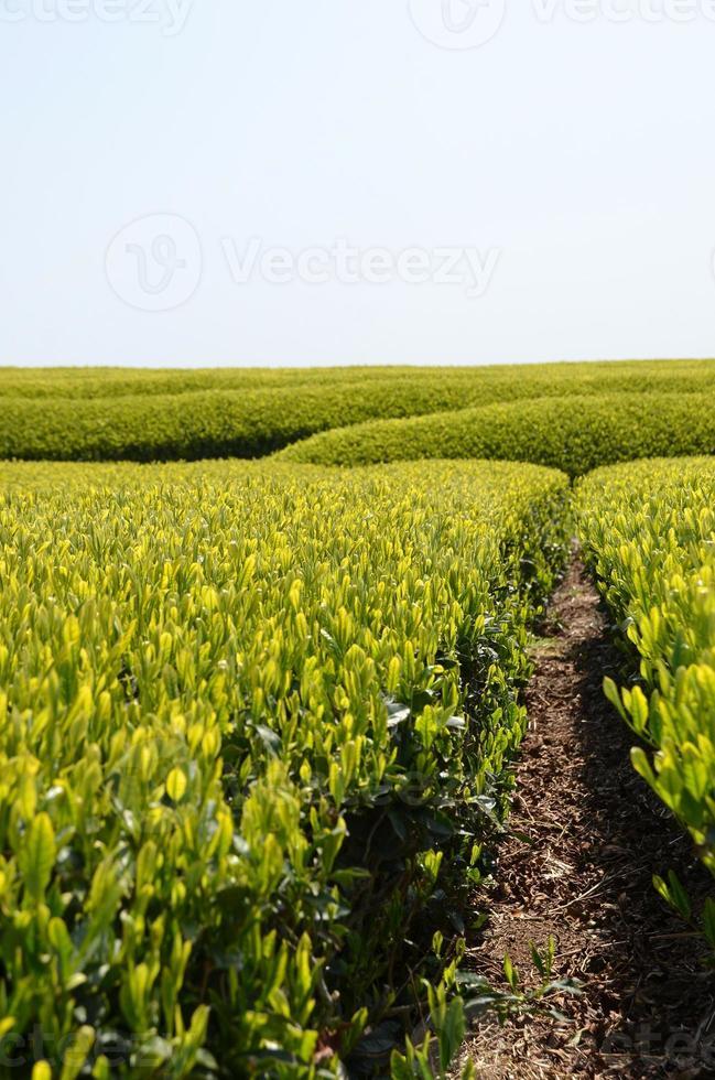 Green tea garden photo