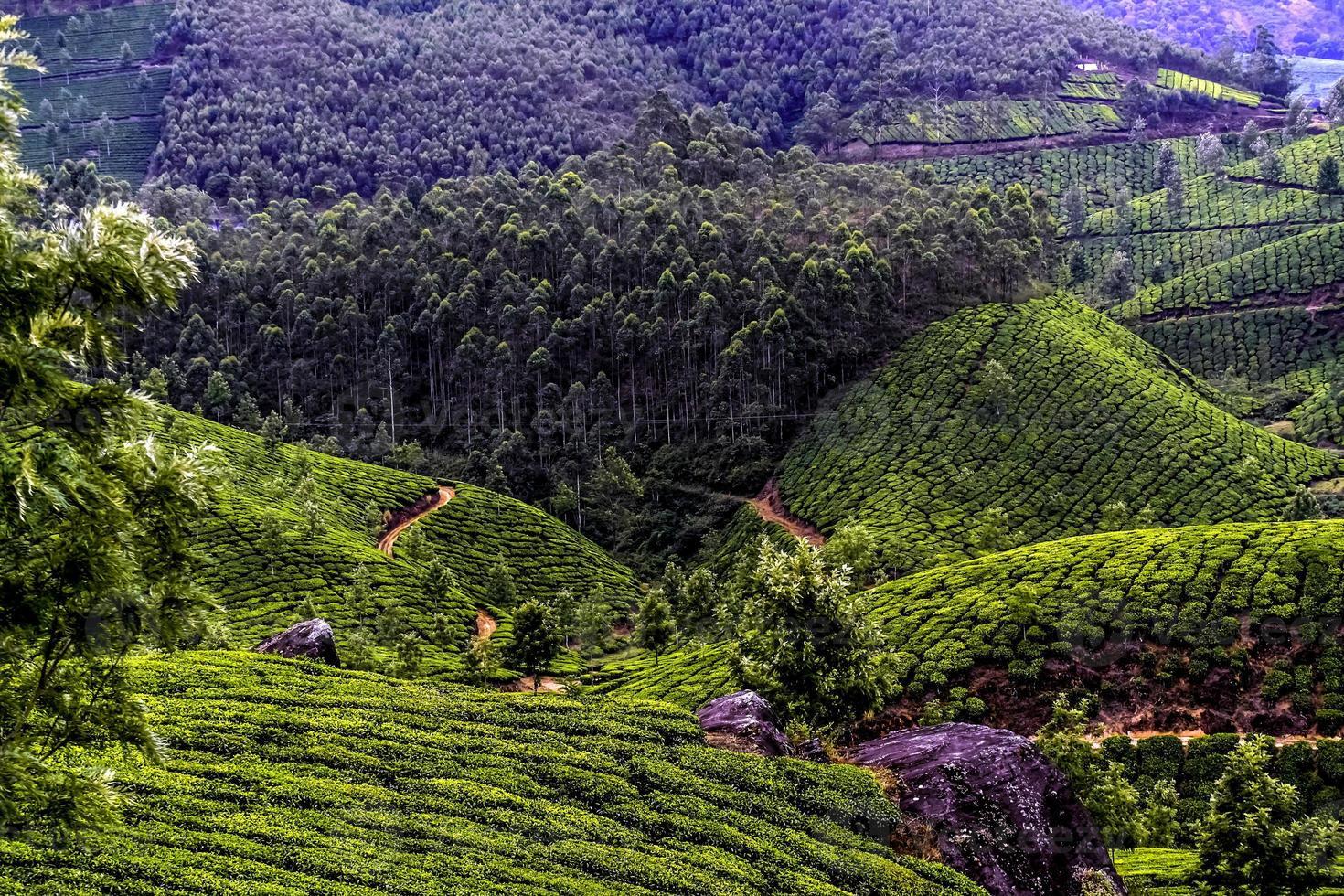 plantación de té munnar foto