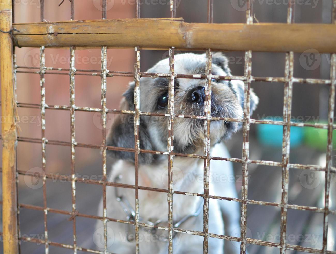 perro shih tzu encarcelado foto