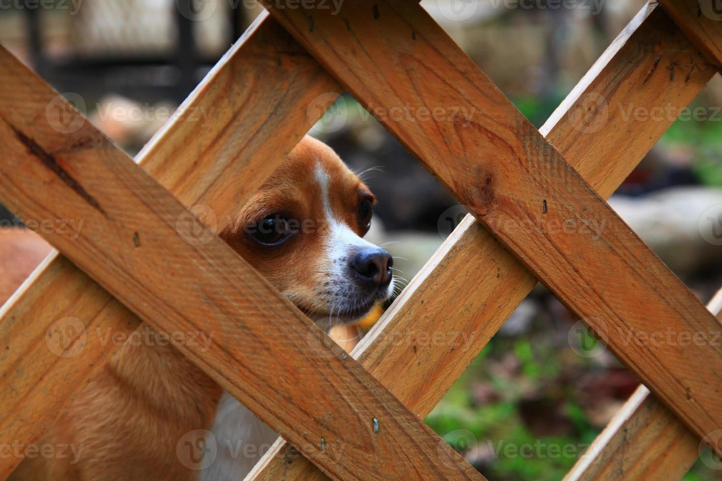 Chihuahua photo