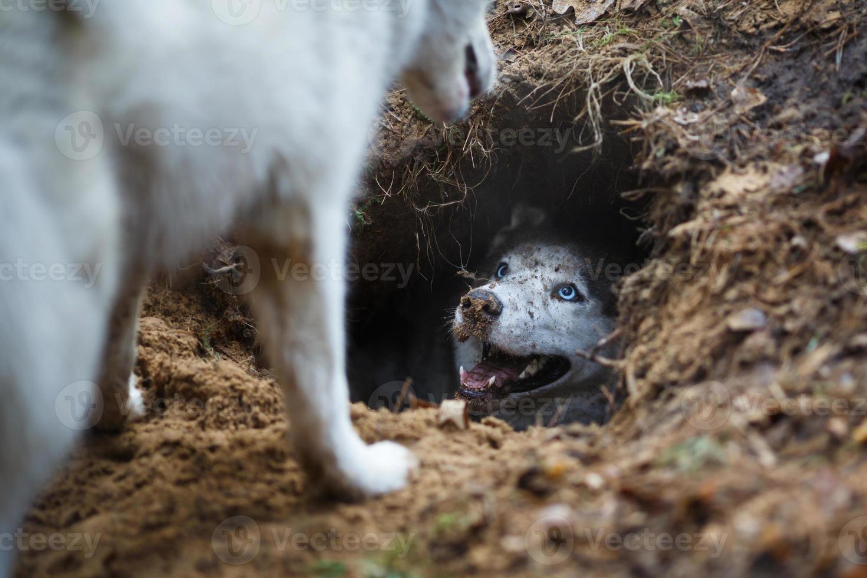 husky en un agujero foto