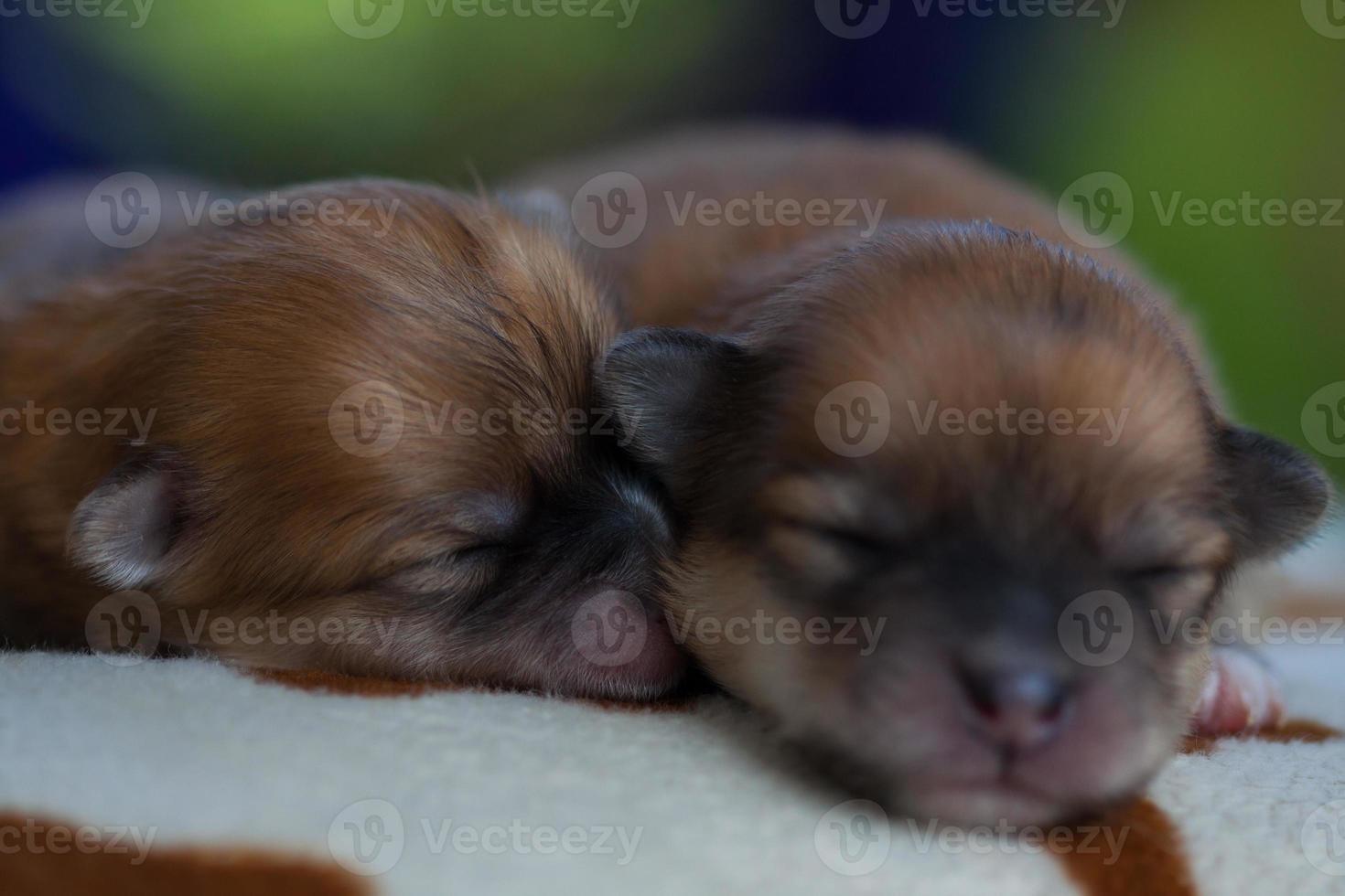 Closeup retrato perro pomerania foto