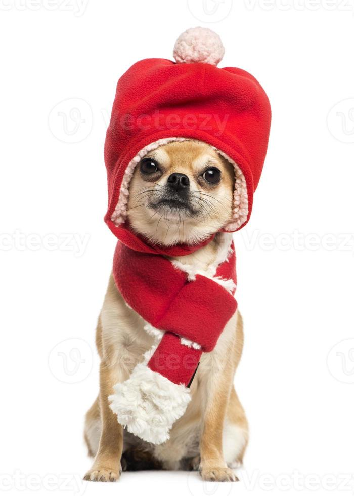 Chihuahua vistiendo sombrero de Navidad y bufanda, sentado, aislado foto