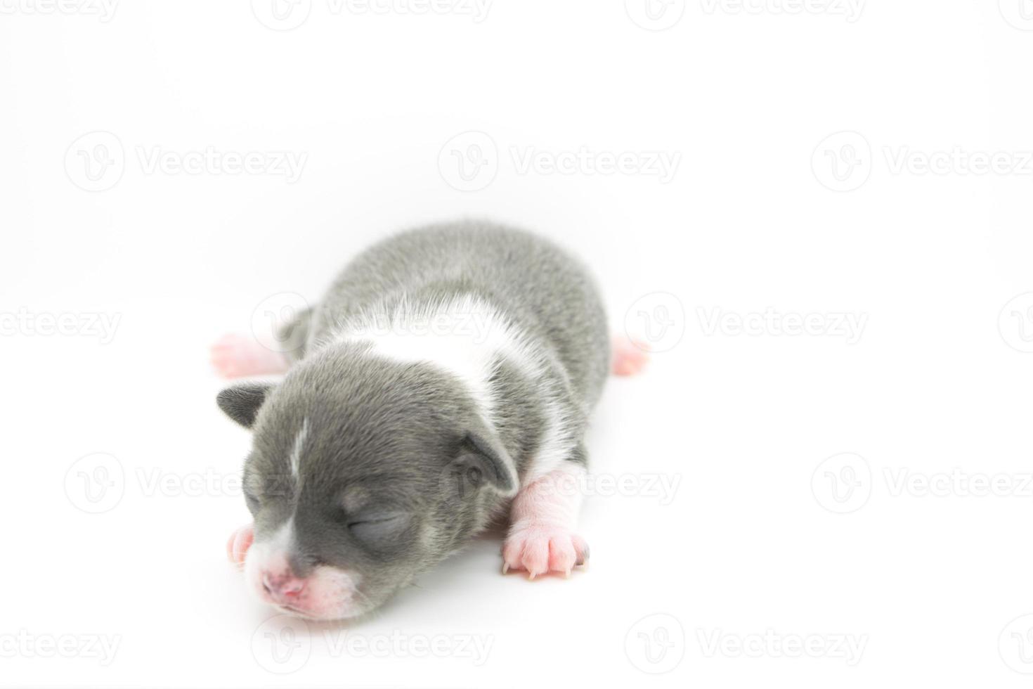 cachorro azul y blanco foto
