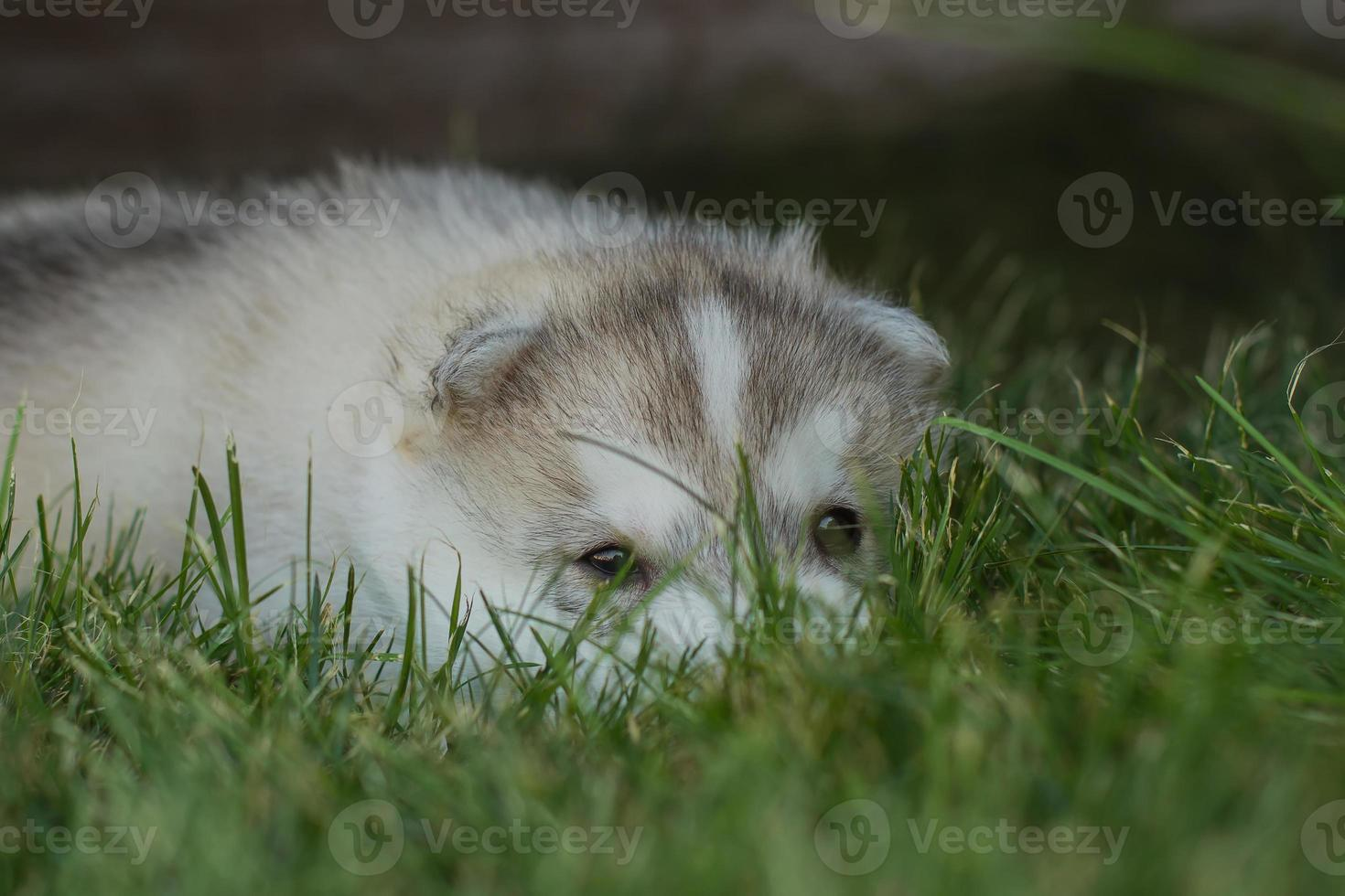 Retrato de un pequeño cachorro de perro husky. foto