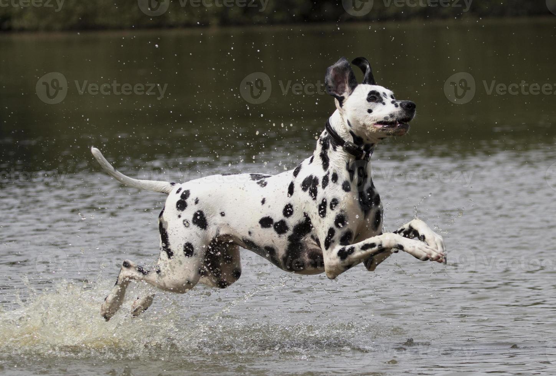 perro dálmata corriendo en el agua foto