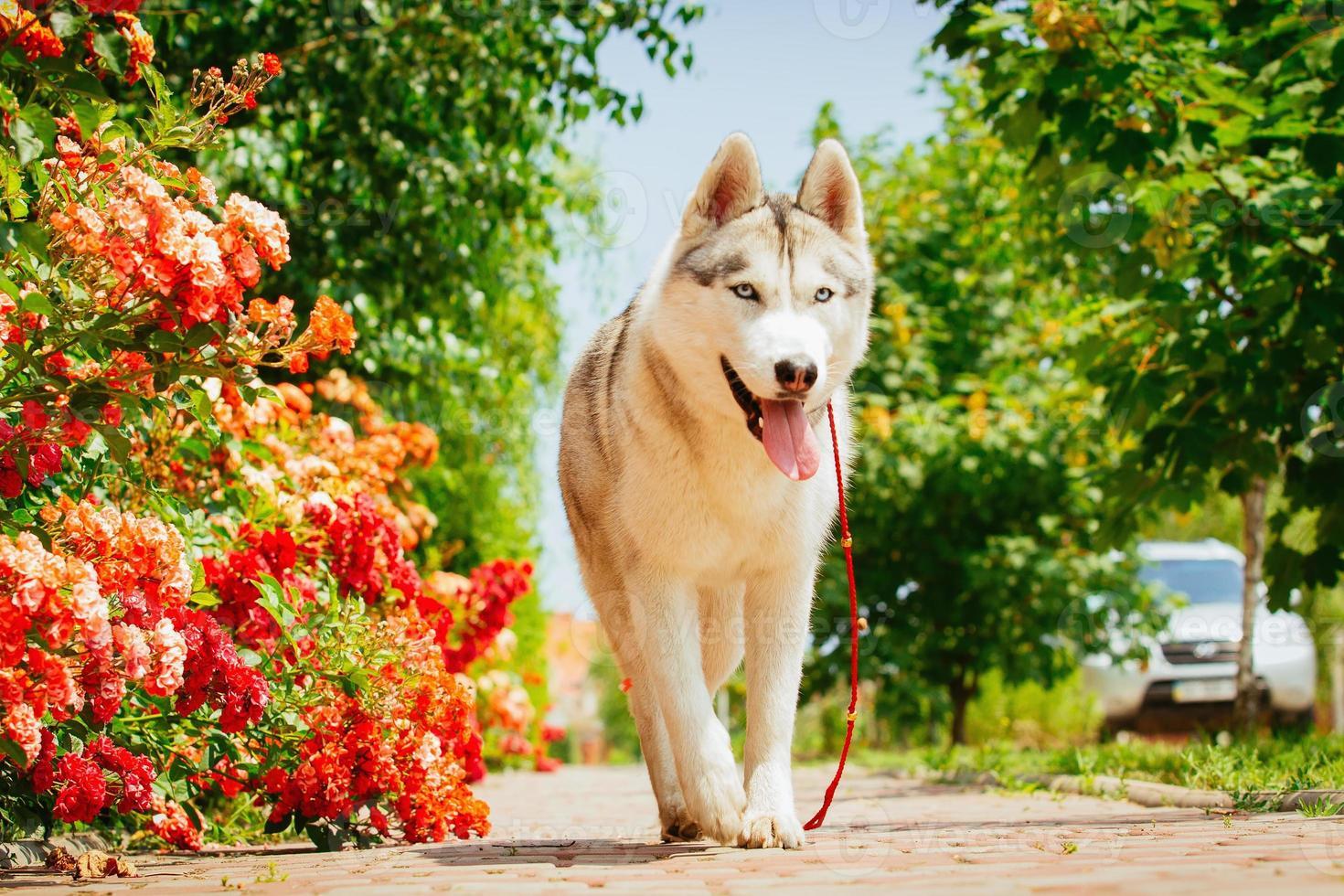 Retrato de un husky siberiano. foto
