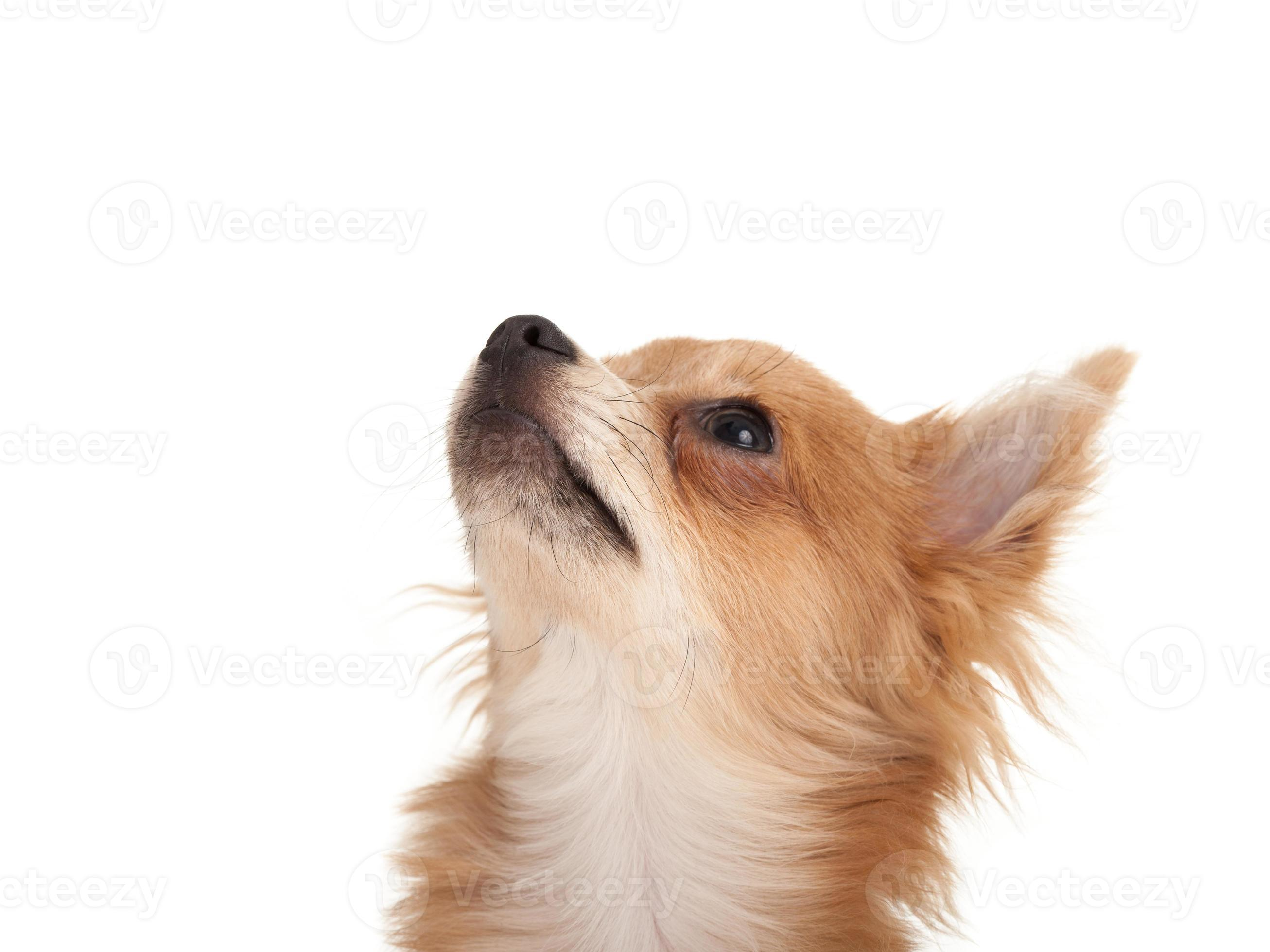 Long Haired Chihuahua Puppy Dog Looking Up Stock Photo